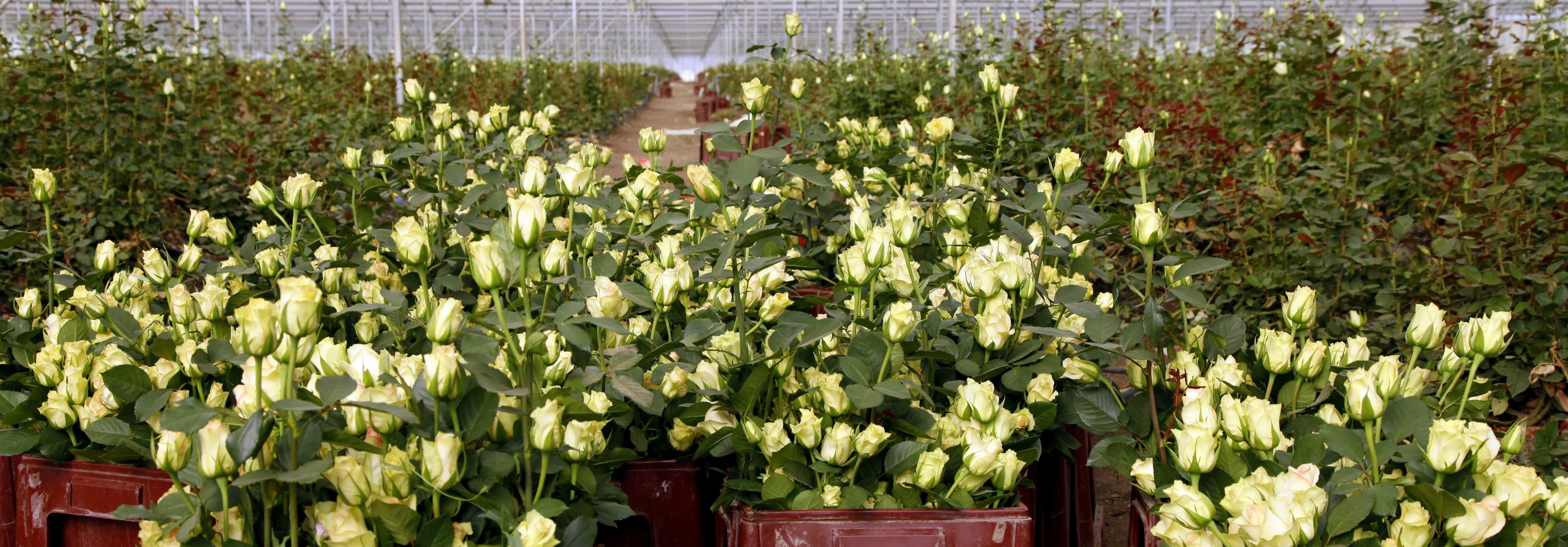 Linssen Roses in cijfers4